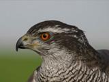 Falconry, a living human heritage